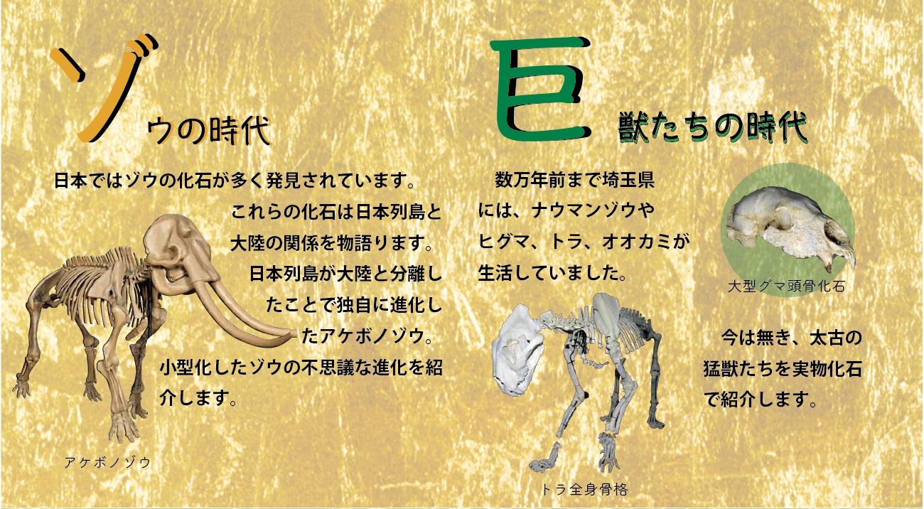 ゾウの時代。日本ではゾウの化石が多く発見されています。これらの化石は日本列島と大陸の関係を物語ります。日本列島が大陸と分離したことで独自に進化したアケボノゾウ。小型化したゾウの不思議な進化を紹介します。巨獣たちの時代。数万年前まで埼玉県にはナウマンゾウやヒグマ、トラ、オオカミが生活していました。今は無き、太古の猛獣たちを実物化石で紹介します。