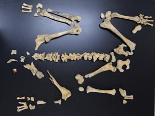 大型クマ全身骨格化石