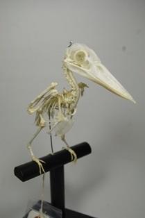 アカショウビン骨格標本
